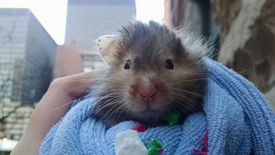 Hamsteren Robin, Foto: Arden Kirby